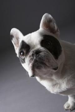 मध्यम कुत्ता