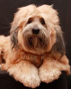 1388996 तिब्बती टेरियर कुत्ता 4