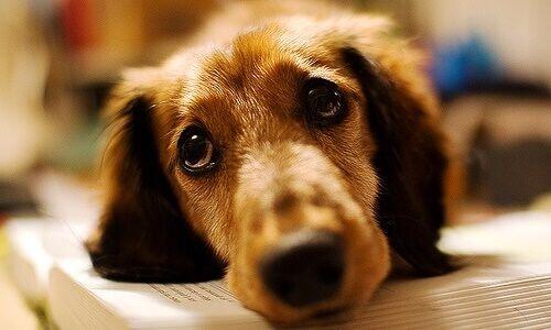 कुत्तों में हेरफेर करने के लिए रोना कर सकते हैं