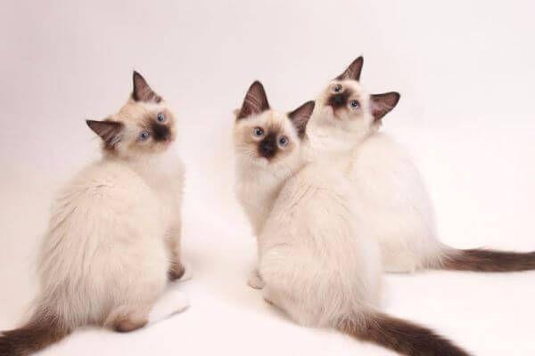 रेस बिल्ली ragdoll रोगों