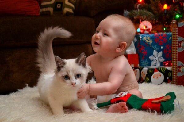 ragdoll व्यवहार बिल्लियों