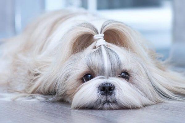 शिह Tzu कुत्ते स्वभाव
