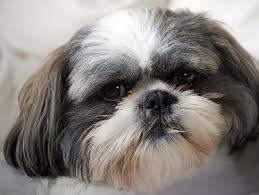 क्या आपका कुत्ता बाँझ है? सावधान रहें क्योंकि आप पाइमेट्रा से पीड़ित हो सकते हैं